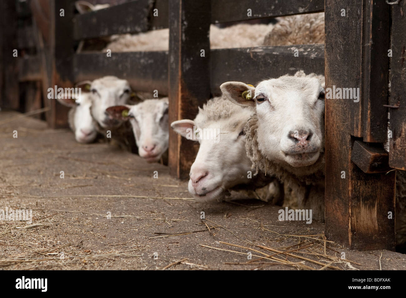 Sheep and Lambs in Charlevoix, quebec, Canada - Stock Image