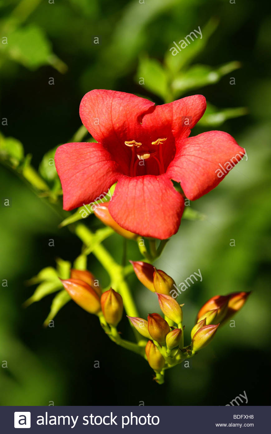 Campsis radicans | Trumpet vine or Trumpet creeper also known as Cow itch vine - Stock Image