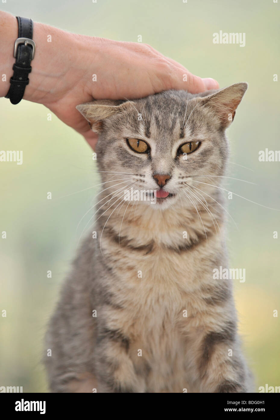 Animal love, tabby cat enjoys being petted Stock Photo