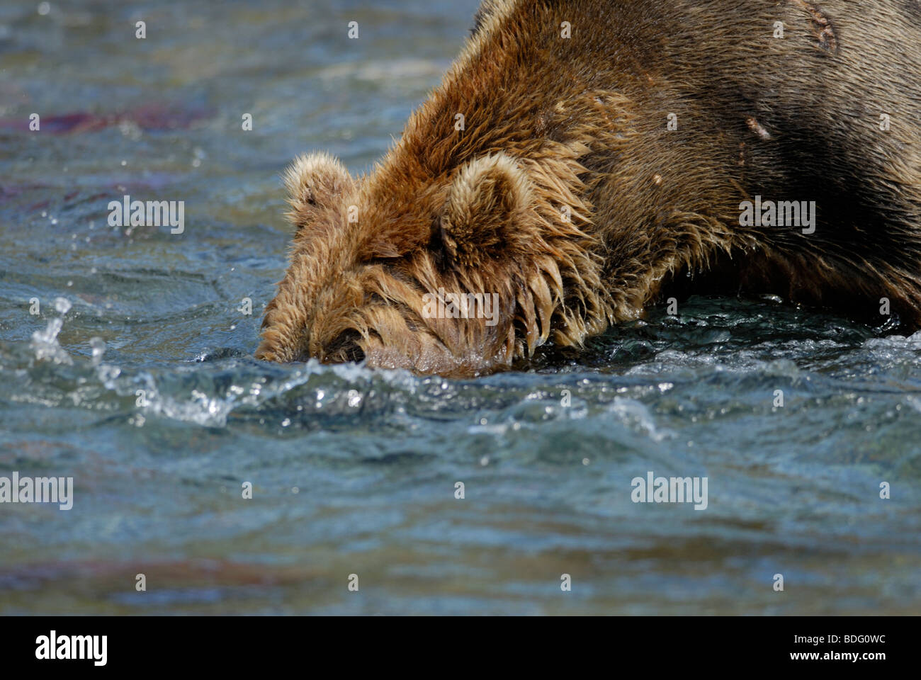 Brown bear (grizzly bear), Ursus arctos horribilis, head in water looking for salmon.  First in sequence with image - Stock Image