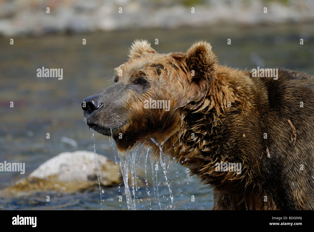 Brown bear or grizzly bear, Ursus arctos horribilis, after looking in water for salmon. Second in sequence with - Stock Image
