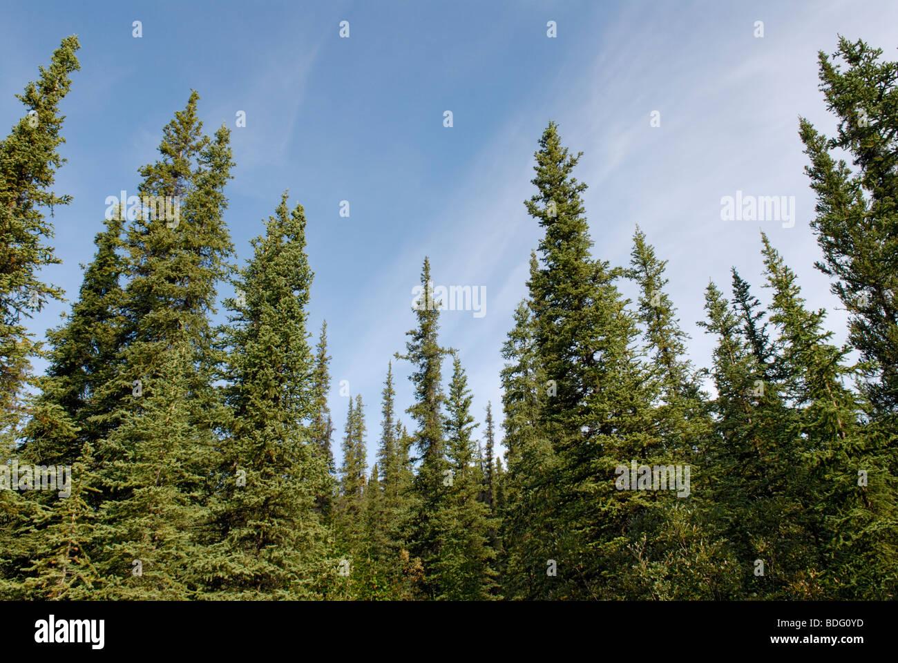 Taiga, Denali National Park, Alaska - Stock Image