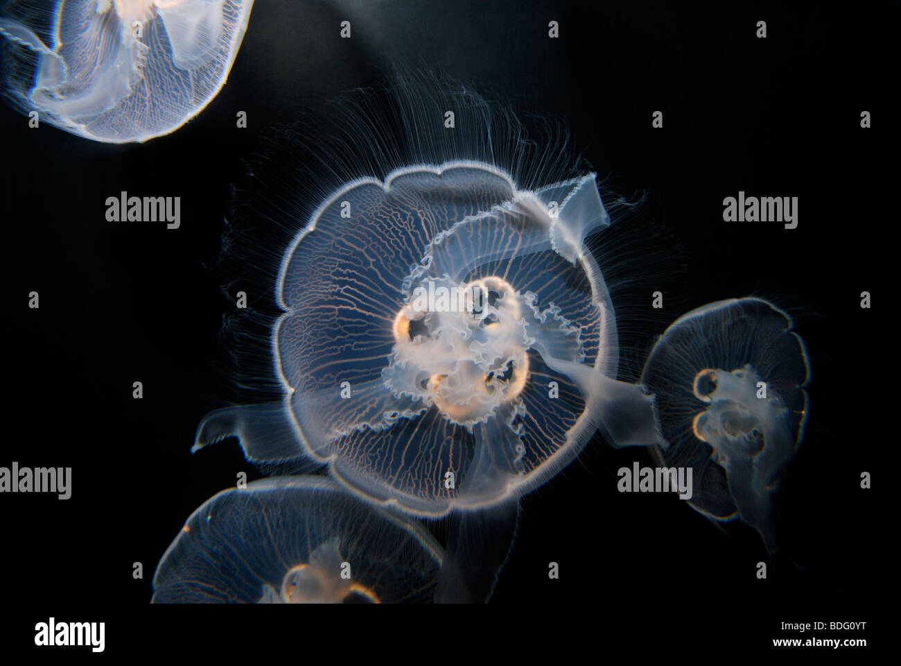 Moon jellyfish,  Aurelia aurita.  Also known as moon jelly, saucer jelly, or common jellyfish - Stock Image