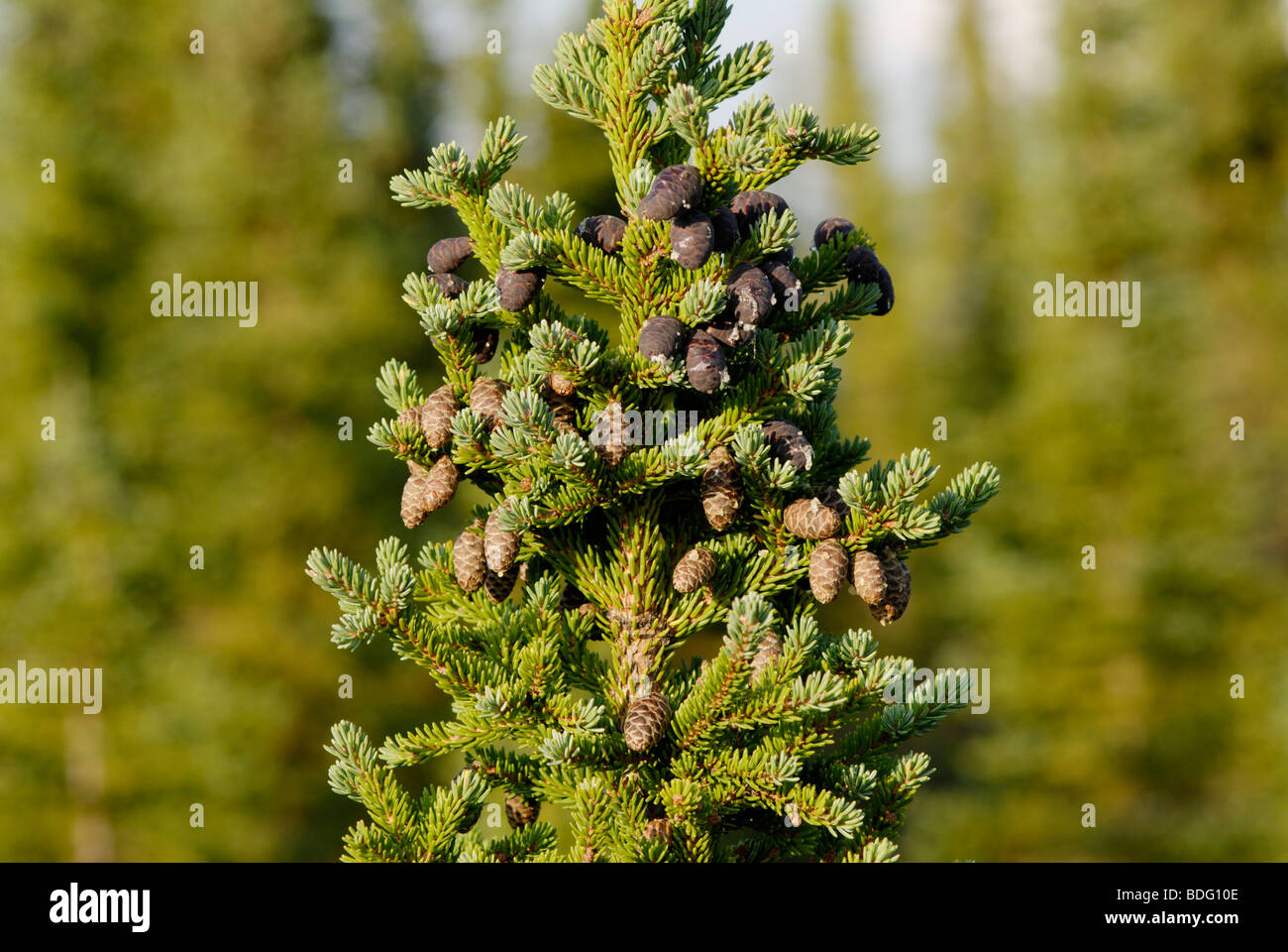 Black spruce, Picea mariana, in boreal forest of Alaska - Stock Image