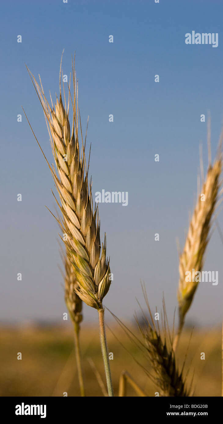 Wheat ear in the field as an agriculture and crop embodiment. - Stock Image