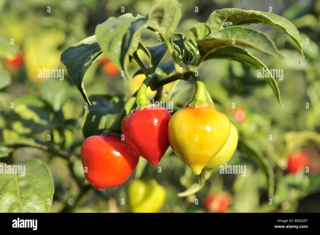 Yellow and Red Chili Peppers (Capsicum) on a bush Stock Photo
