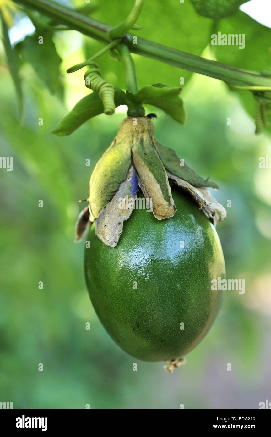 fruit of the winged stem passion flower passiflora alata maracuja stock photo 25553724 alamy. Black Bedroom Furniture Sets. Home Design Ideas
