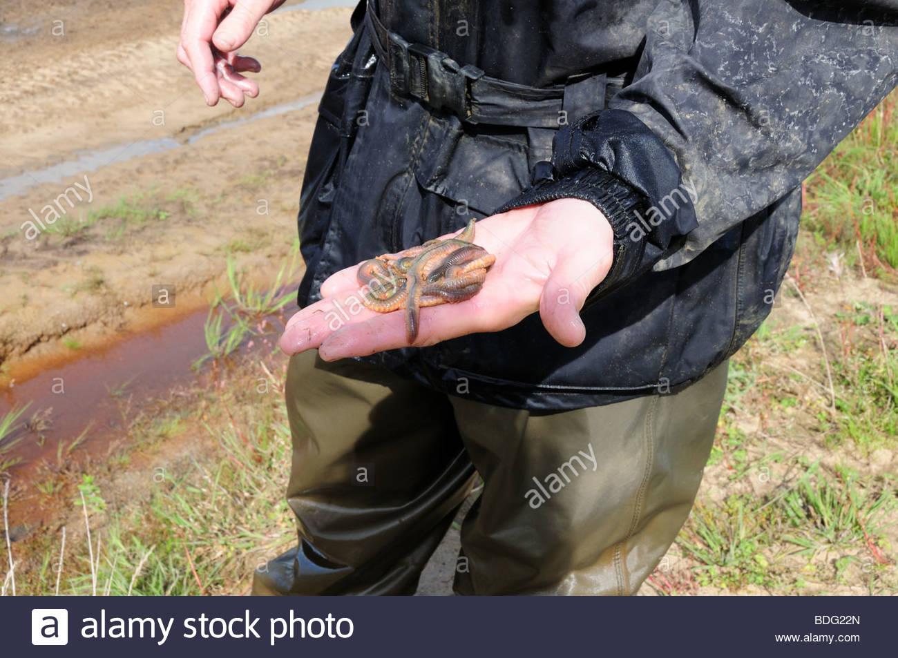 A man holding farmed lugworms  Arenicols marina in his hand Carmarthenshire Wales Cymru UK - Stock Image