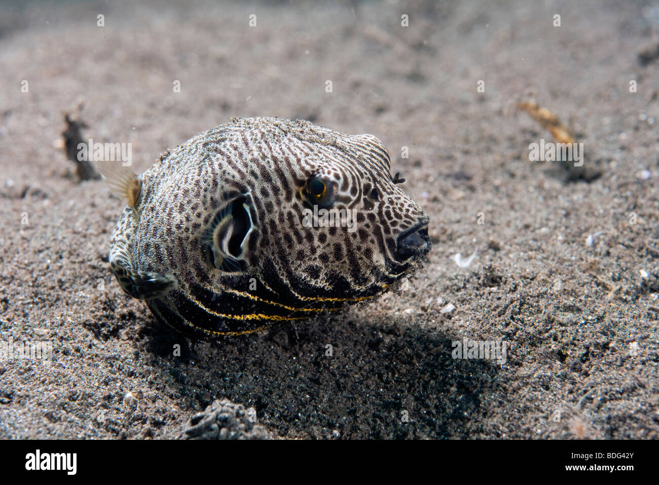 Giant pufferfish (Arothron sp.), Lembeh Strait, Sulawesi, Indonesia, Southeast Asia - Stock Image