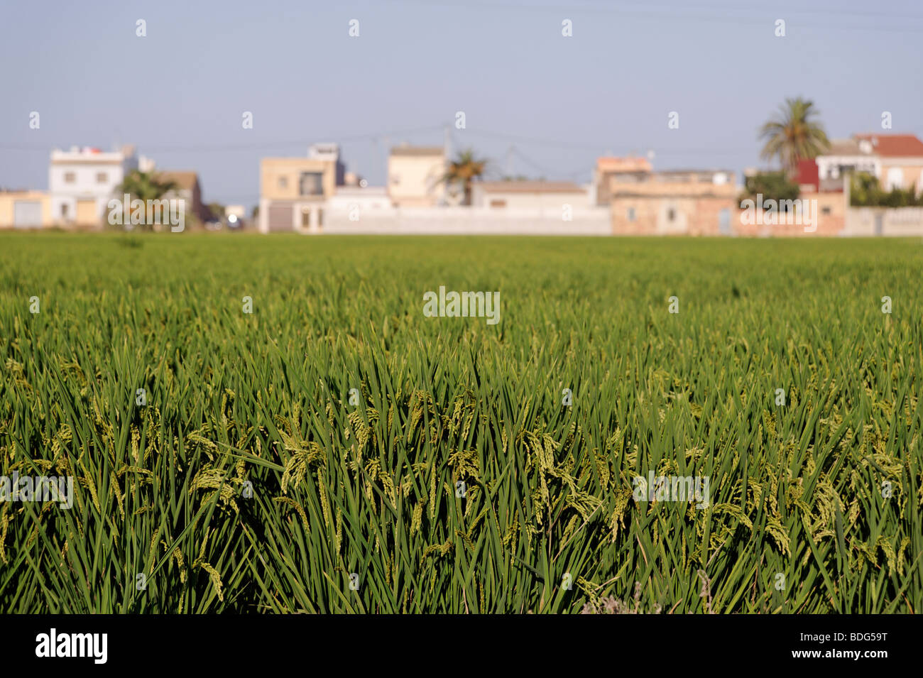 Detail of Spanish rice growing in Albufera. Valencia. Spain - Stock Image