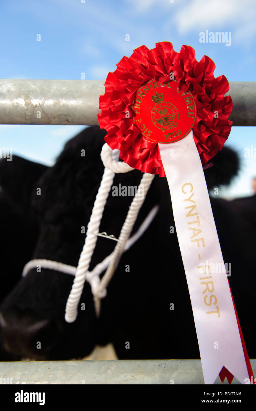 Red rosette on first prize winning bull , Royal Welsh Agricultural Show - Stock Image