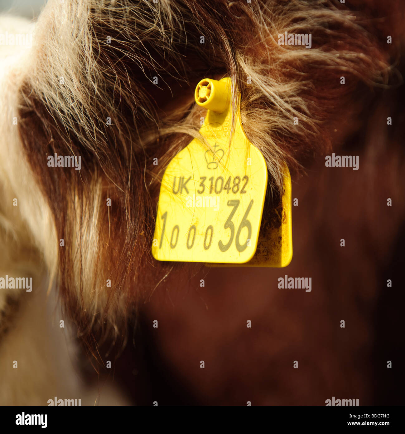 Yellow ear tag on a cow, UK - Stock Image