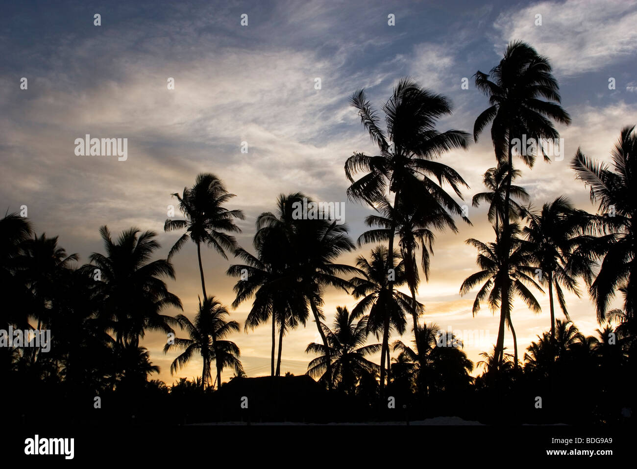 Sunset silhouette of palm trees which line the whole island, including here at Paje. Zanzibar, Tanzania. - Stock Image