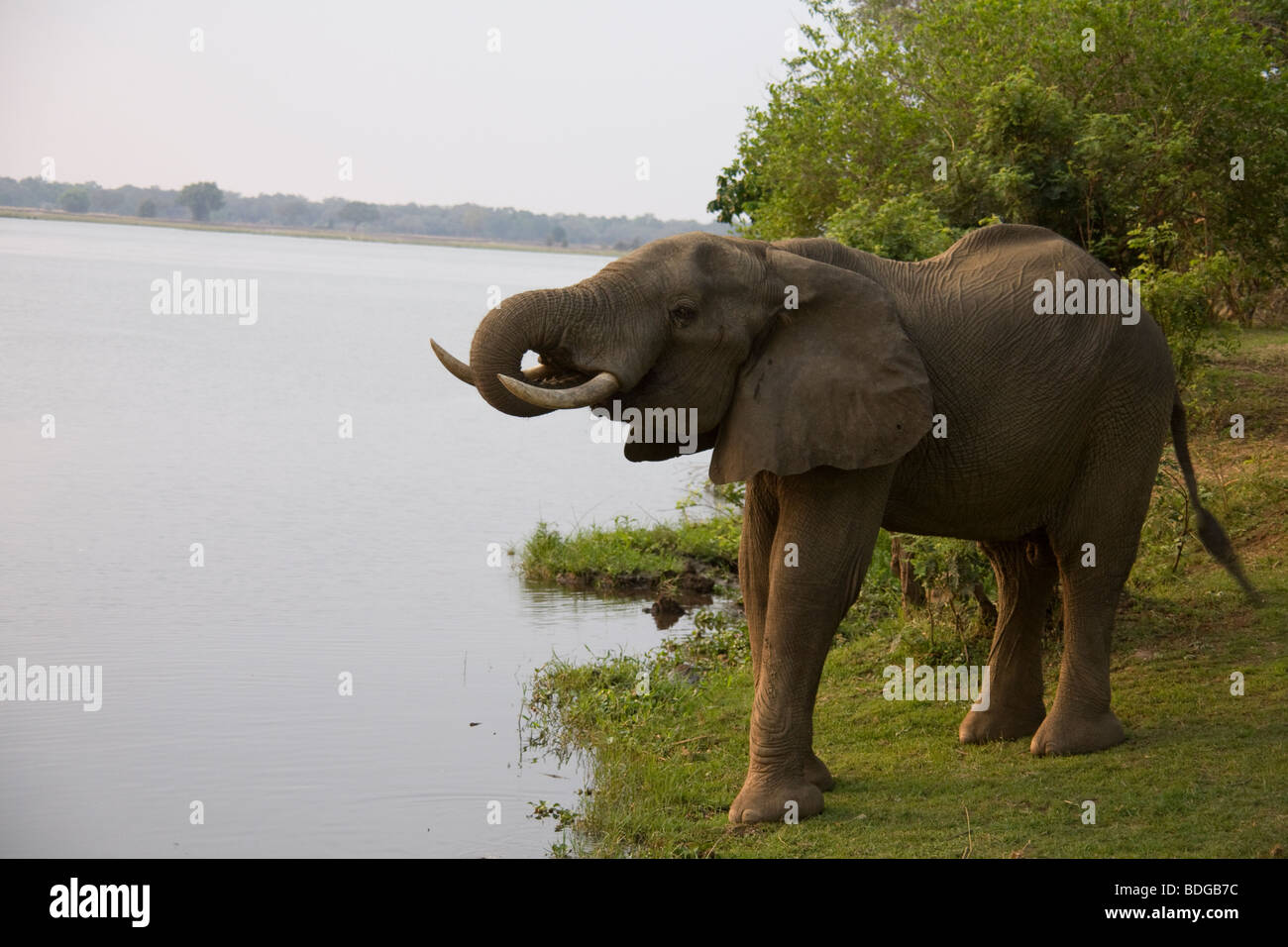 ambia, Tafika Camp on the banks of the Luangwa River, South Luangwa National Park John & Carol Coppinger. Elephant - Stock Image