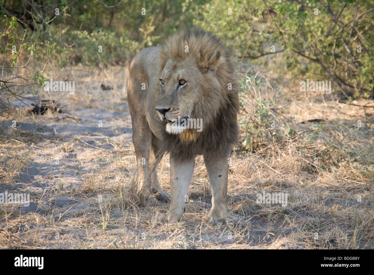 Male Lion standing in the Botswana Okavango Delta Kwando - Linyanti River Reserve Stock Photo