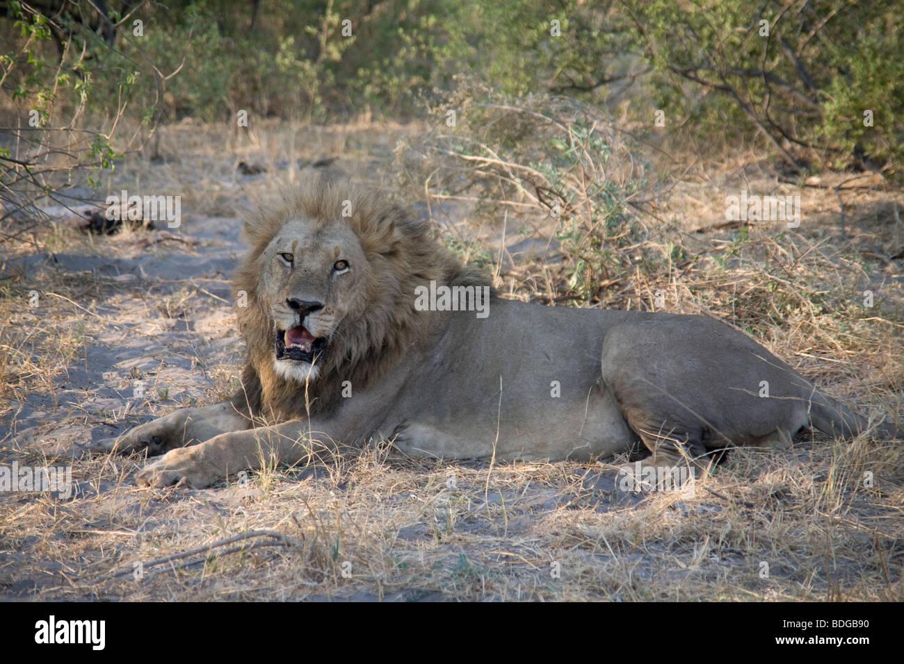 Male Lion resting in the Botswana Okavango Delta Kwando - Linyanti River Reserve Stock Photo