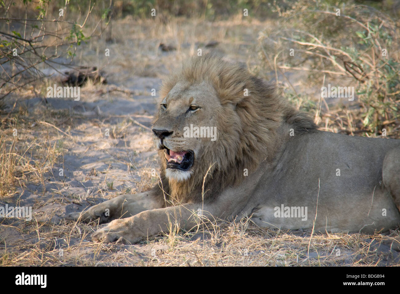 Male Lion resting in the Botswana Okavango Delta Kwando - Linyanti River Reserve Stock Photo