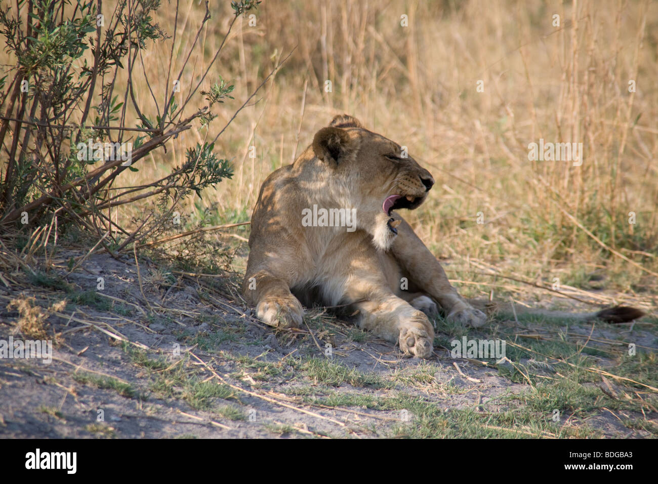 Lioness yawning, lying in the shade of grass in the Botswana Okavango Delta, - Stock Image