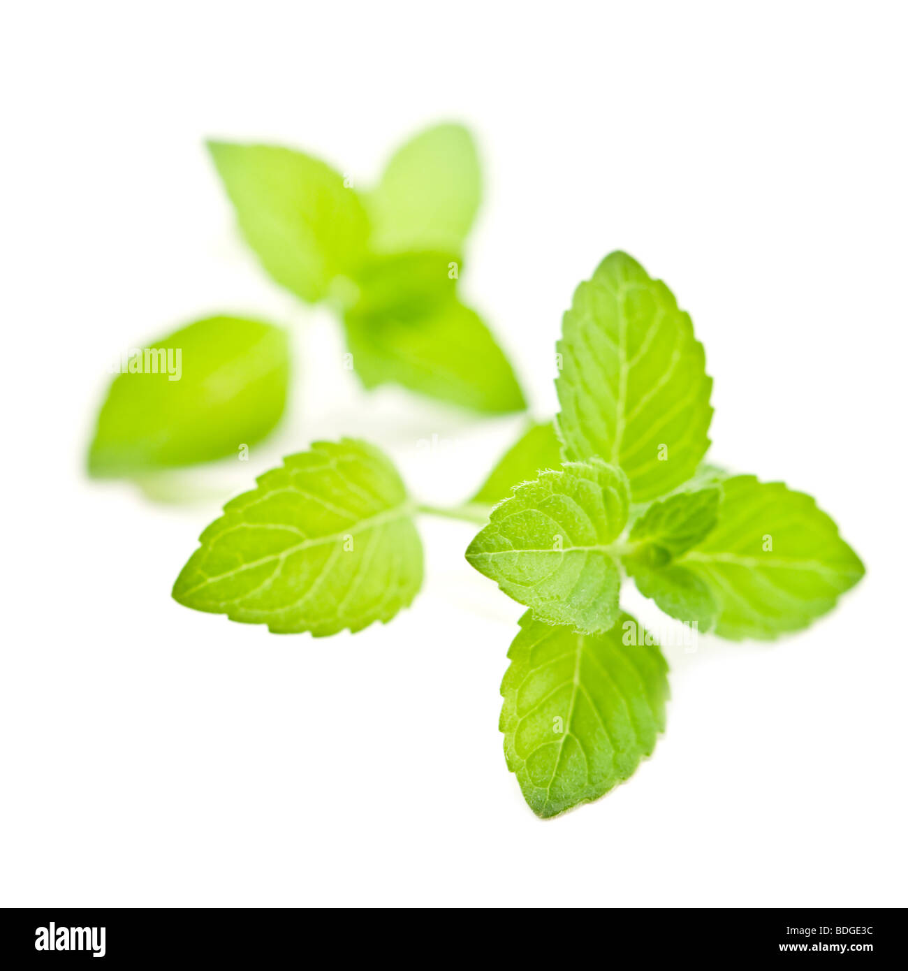 twig of mint isolated - Stock Image