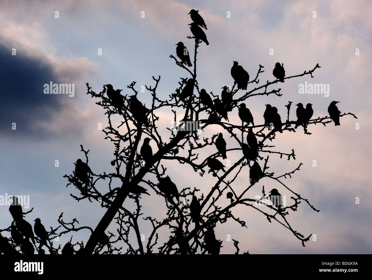 Starlings in country garden,Suffolk, Britain,August 2009. - Stock Image