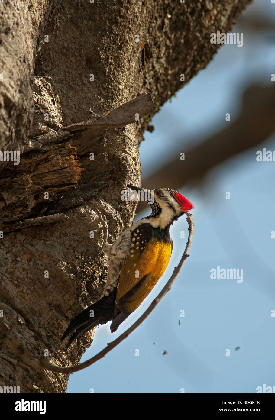 A Woodpecker peaking the tree at Pench Tiger Reserve, Madhya pradesh India. - Stock Image
