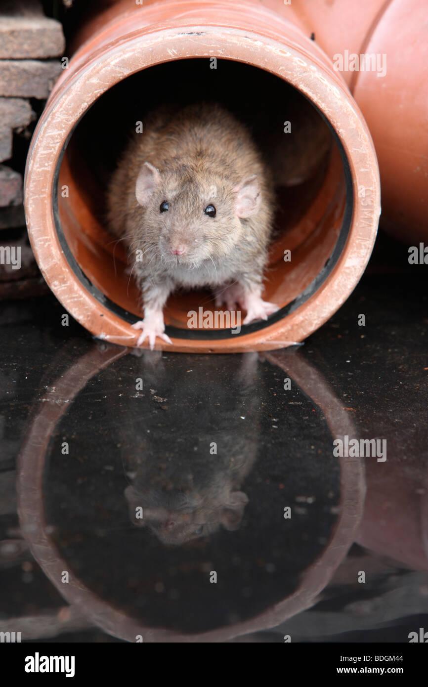 Brown rat, Rattus norvegicus, by water, Midlands, captive, August 2009 - Stock Image