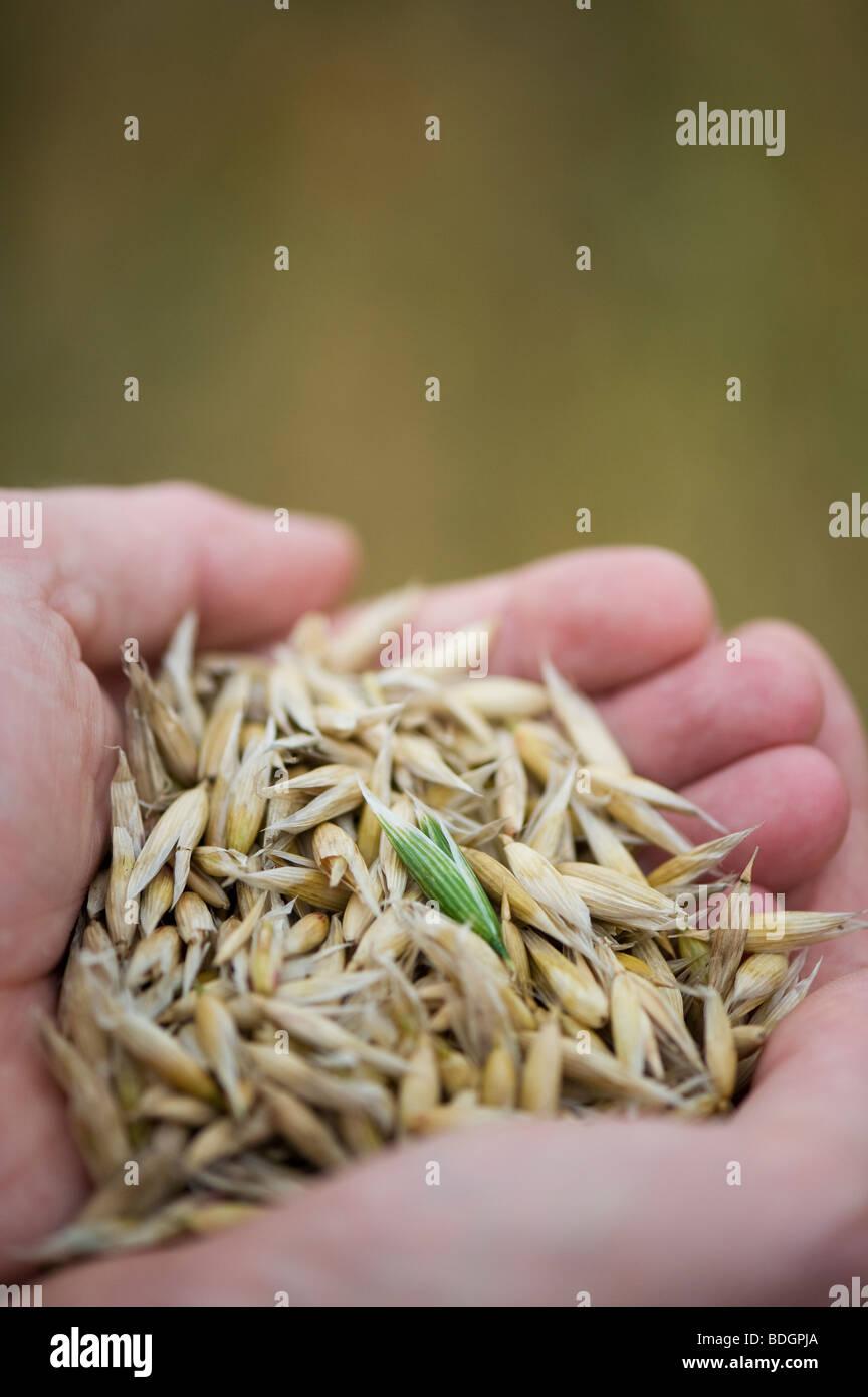 Oats, cereal crop, in hands - Stock Image
