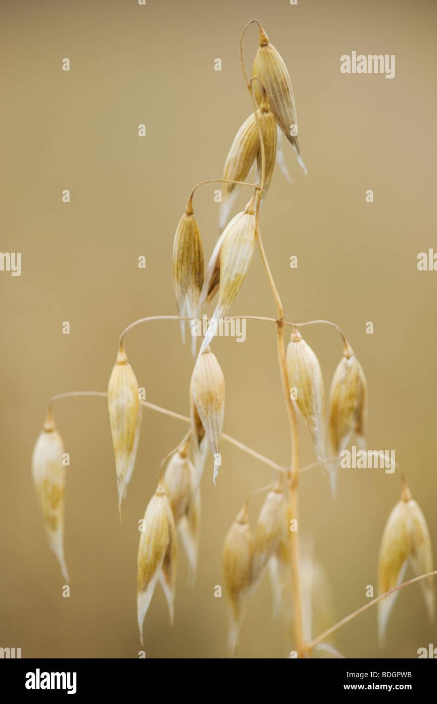 Avena sativa. Oats, cereal crop close up - Stock Image