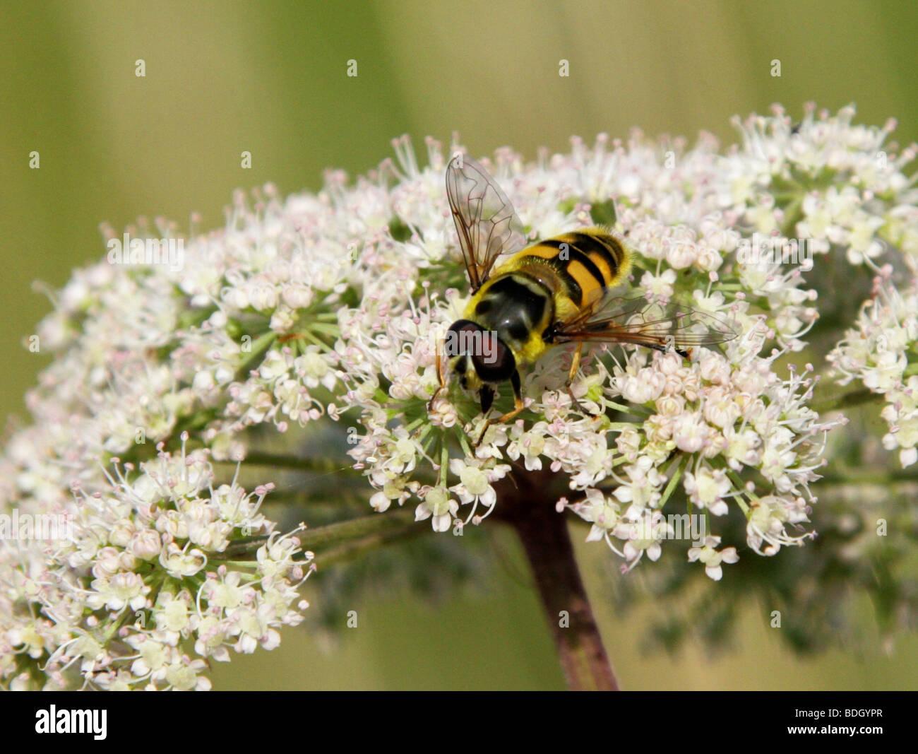 Hover fly, Myathropa florea, Syrphidae, Diptera, syn Musca florea - Stock Image