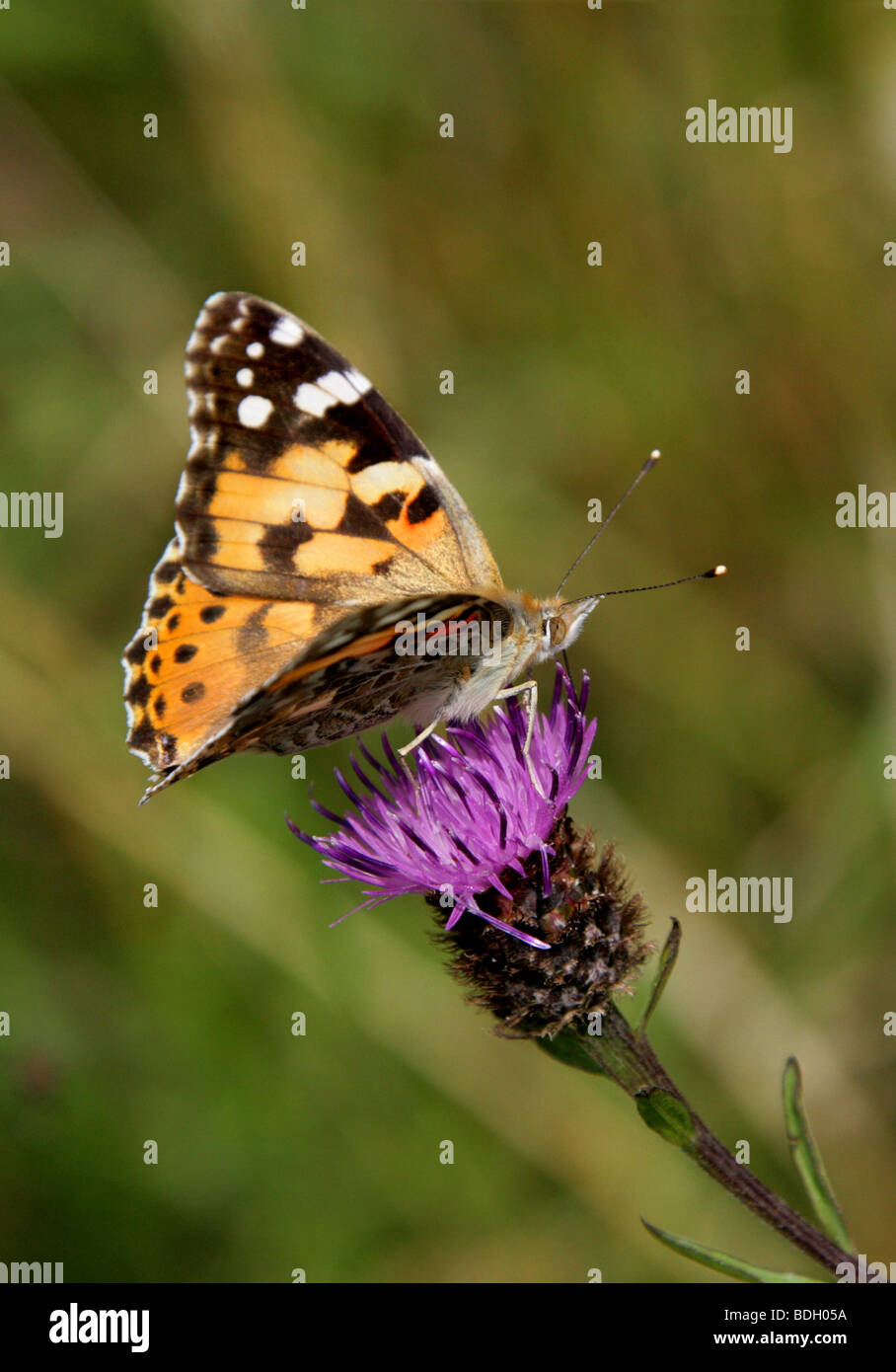 Painted Lady Butterfly, Vanessa cardui, Nymphalidae - Stock Image