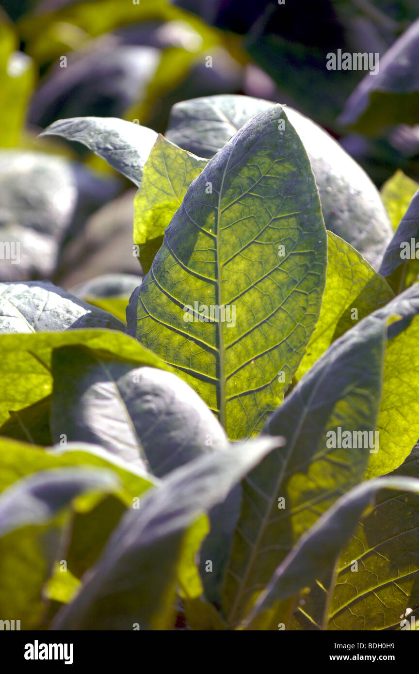 Tobacco leaves for Pinar del Rio cigars, Cuba. - Stock Image