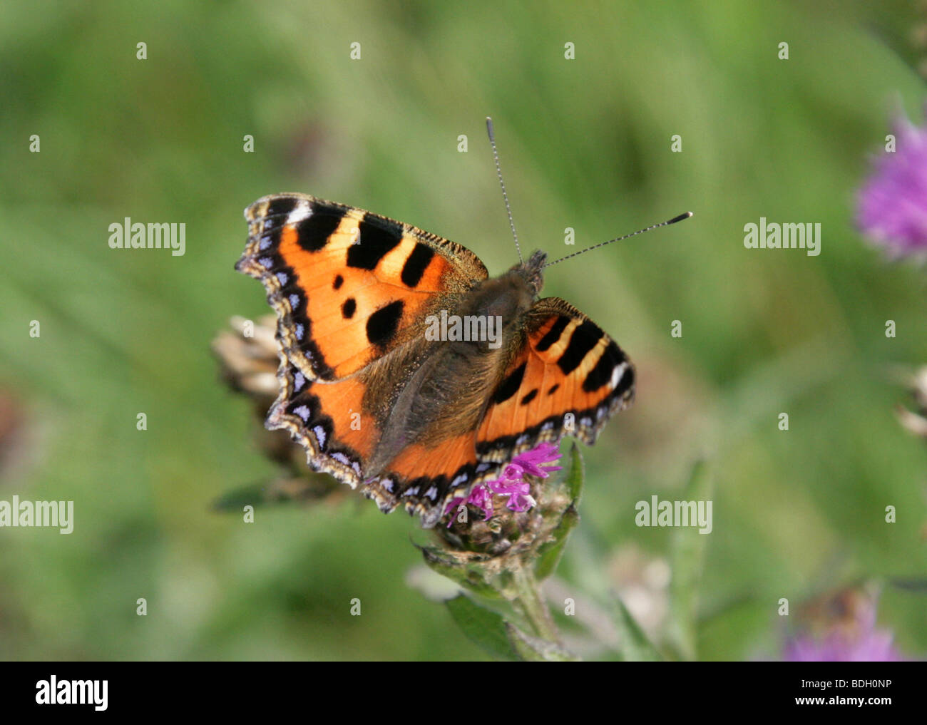 Small Tortoiseshell Butterfly, Nymphalis urticae, Nymphalidae - Stock Image