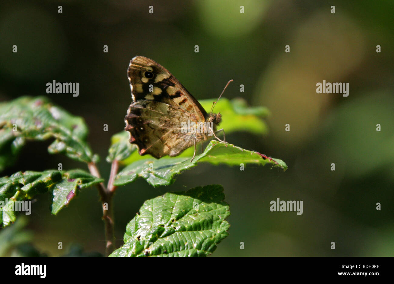 Speckled Wood Butterfly, Pararge aegeria, Satyrinae, Nymphalidae ,Satyridae - Stock Image