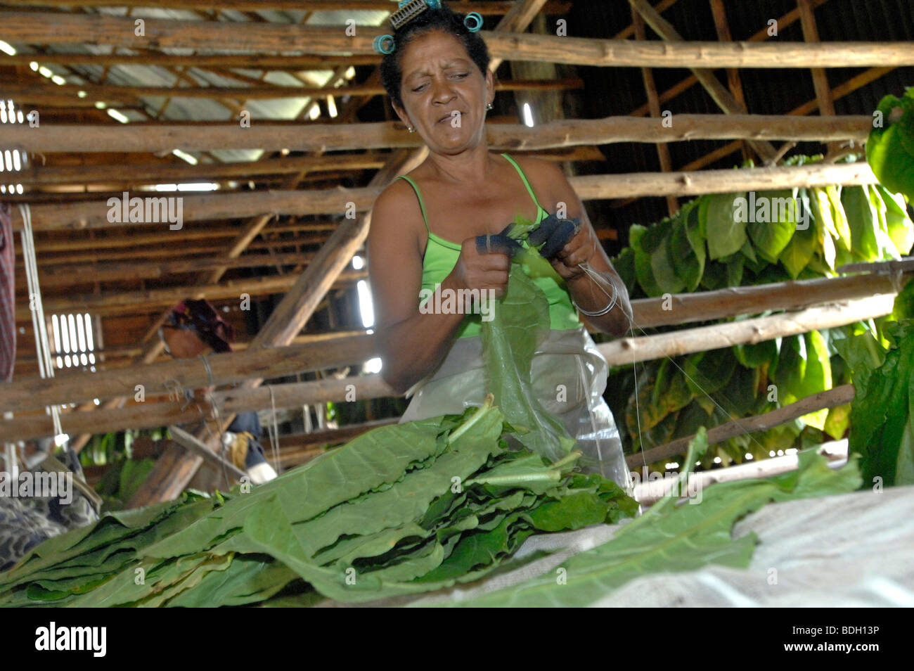 Hanging tobacco leaves to dry for Pinar del Rio cigars, Cuba. - Stock Image