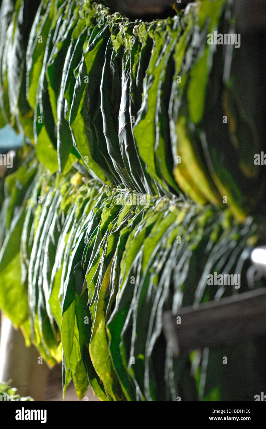 Tobacco leaves drying for Pinar del Rio cigars, Cuba. - Stock Image