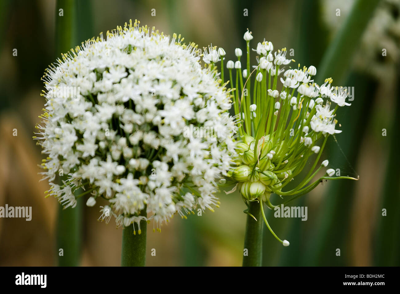 Flowering onions stock photos flowering onions stock images alamy yellow onion flower heads with seeds stock image mightylinksfo