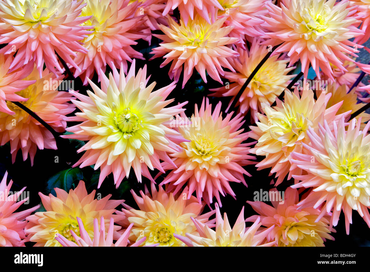 Dahlias variety Tropic Sun. Swan Island Dahlia Farm. Oregon - Stock Image