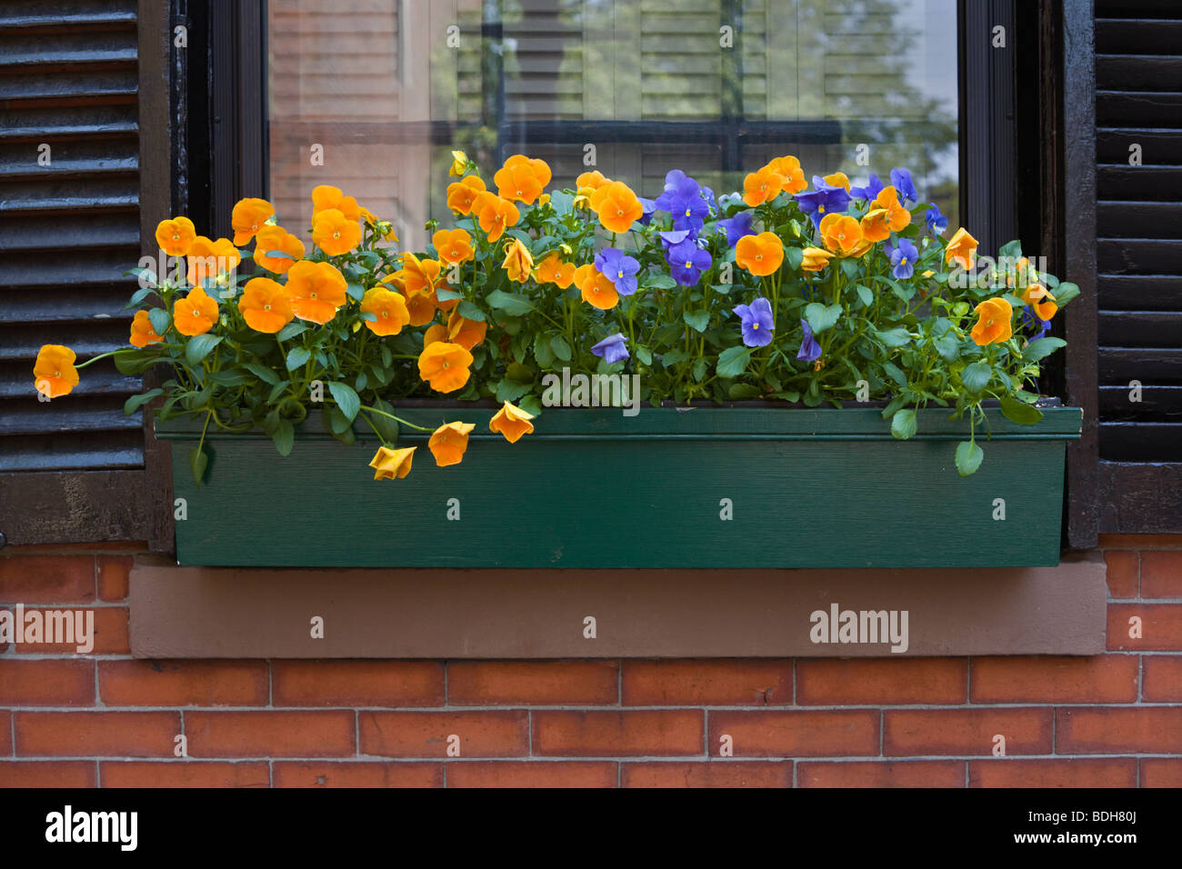 PANSIES in a WINDOW BOX of a classic BRICK HOUSE on BEACON HILL - BOSTON, MASSACHUSETTS - Stock Image