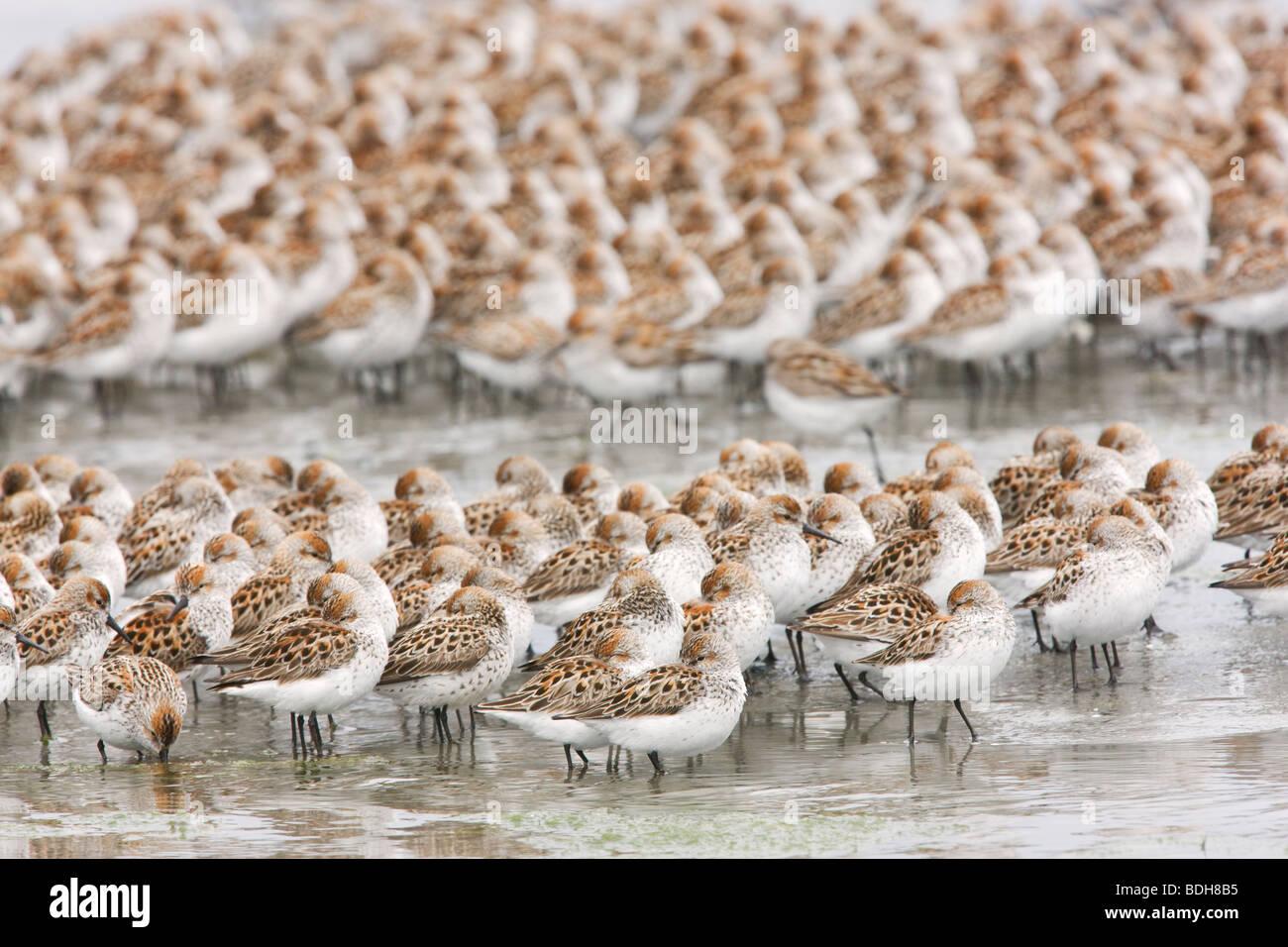 Shorebird migration, primarily western sandpipers, Copper River Delta, near Cordova, Alaska. - Stock Image