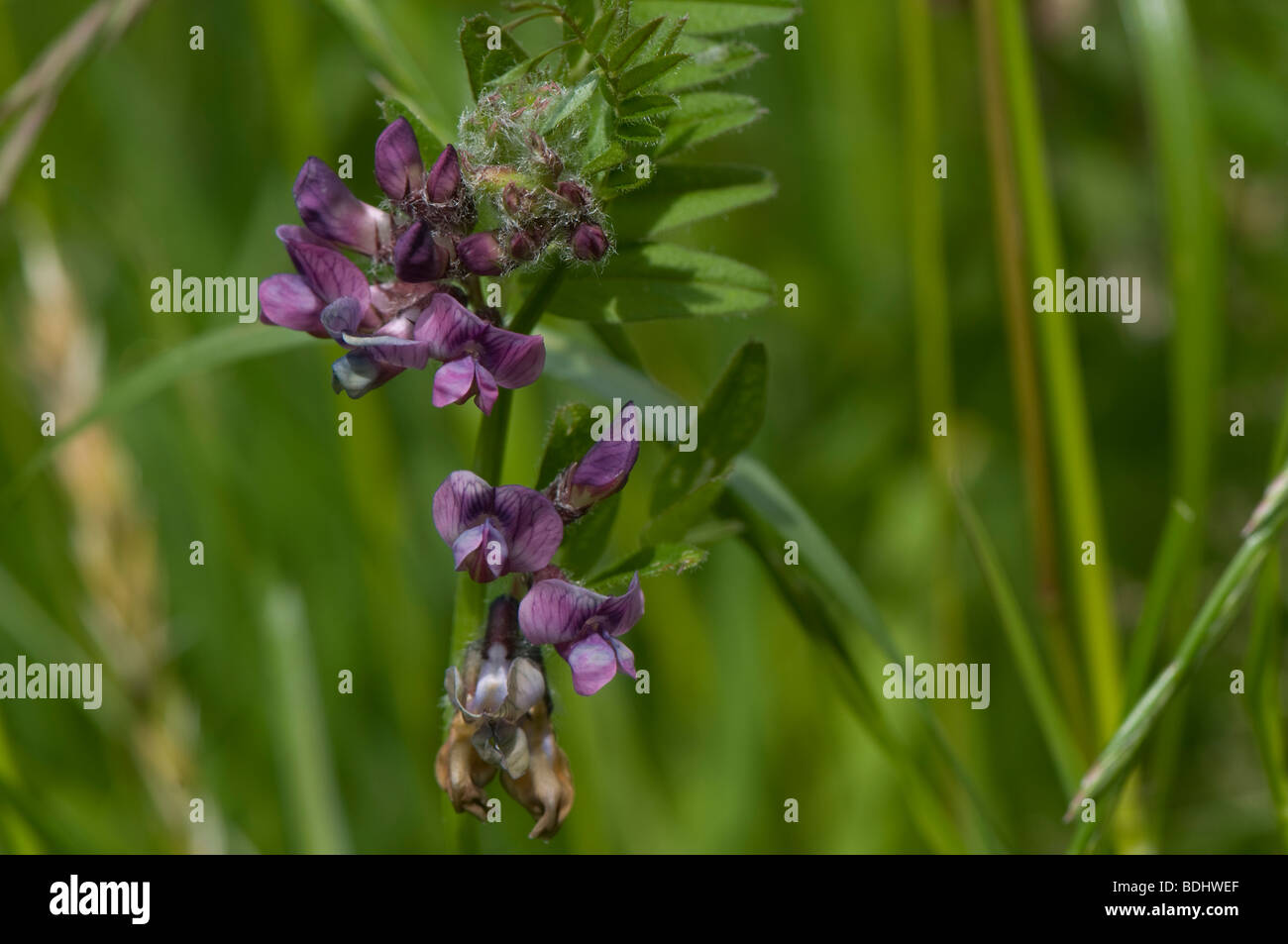 Bush vetch Vicia sepium with brown pollinated flowers - Stock Image