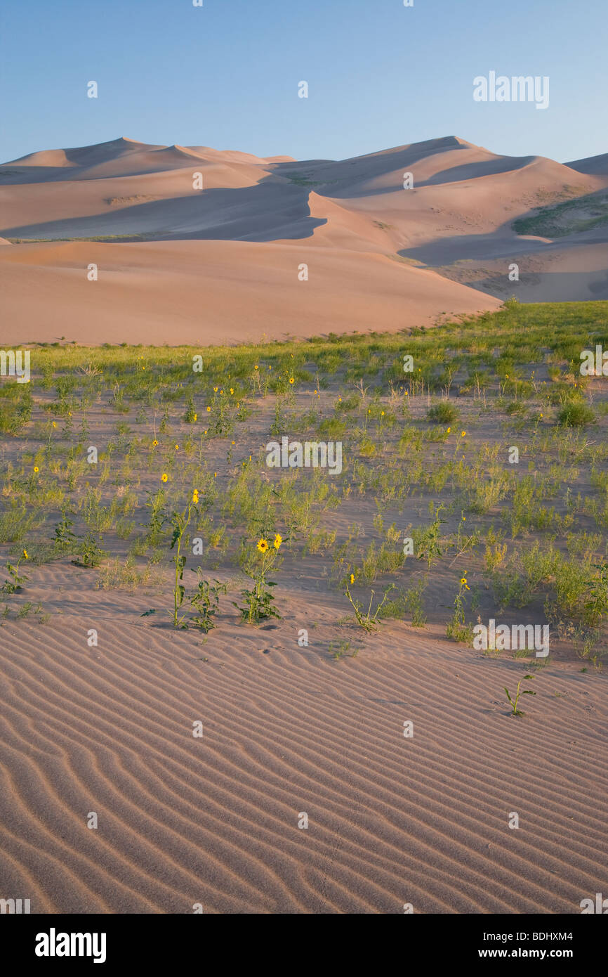 prairie sunflowers and dunes, Great Sand Dunes National Park, Colorado - Stock Image