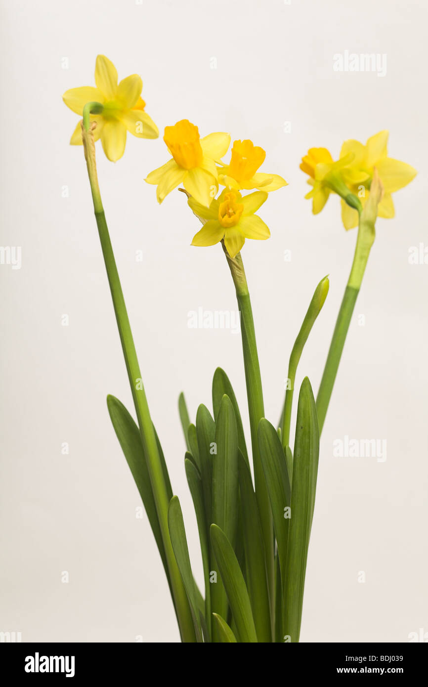 White flowers on single stem against a white background cutout stock daffodil narcissus tete a tete specimen with three flower heads on a single stem against white mightylinksfo