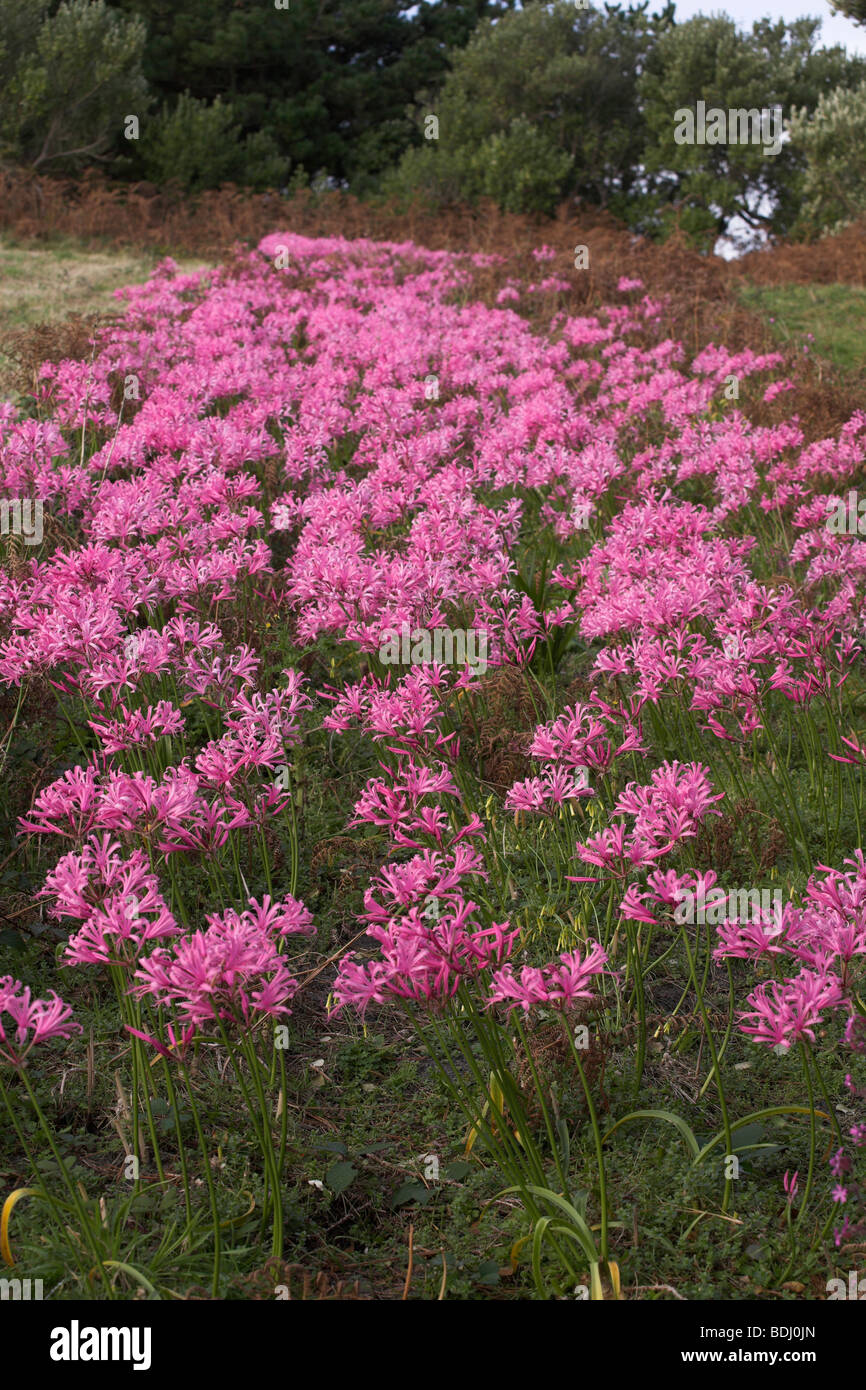 Nerine bowdenii growing in a field, Tresco Isles of Scilly Cornwall UK taken in early November - Stock Image
