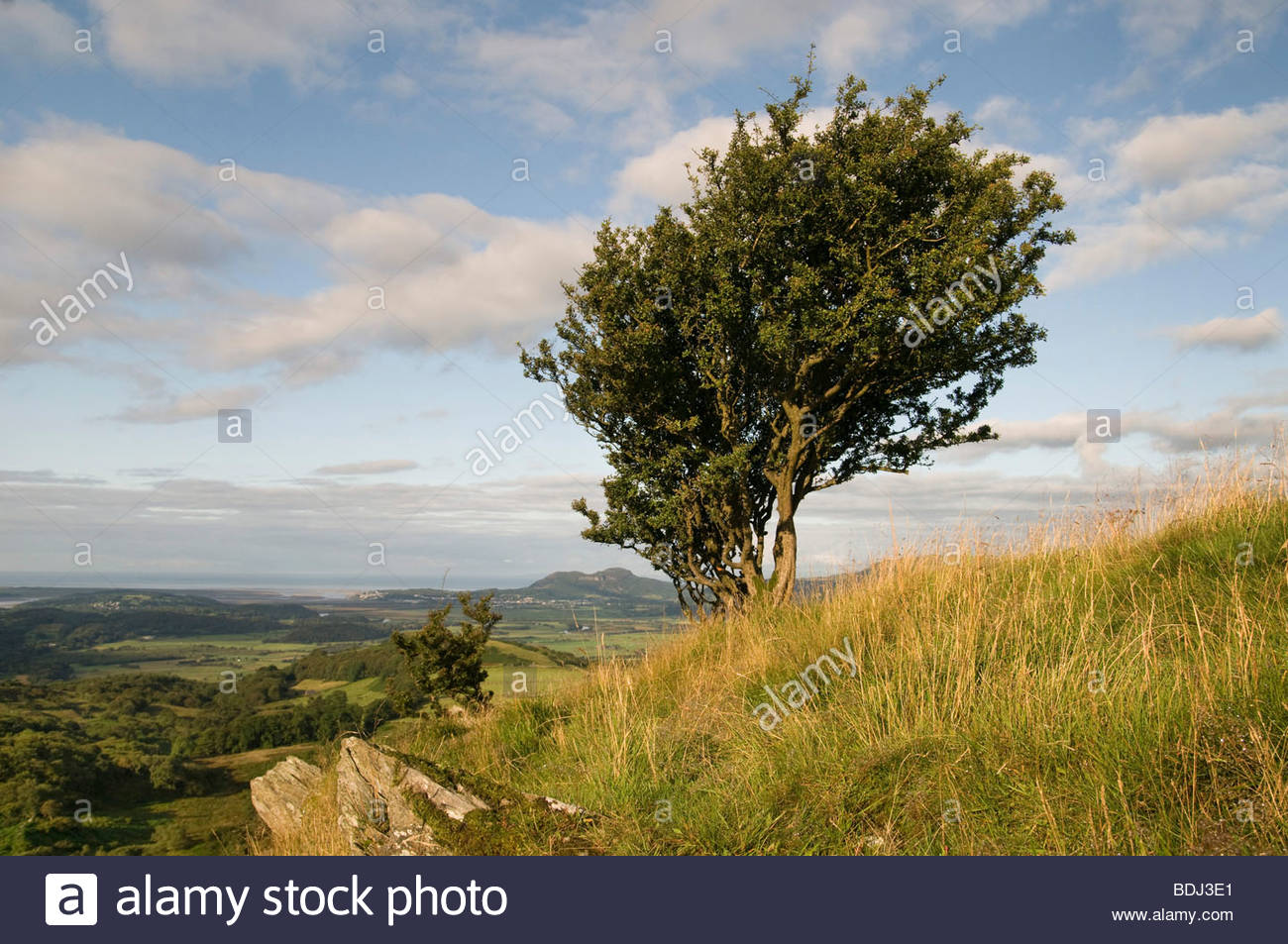 Windswept Hawthorn trees near the village of Croesor, Snowdonia National Park. - Stock Image