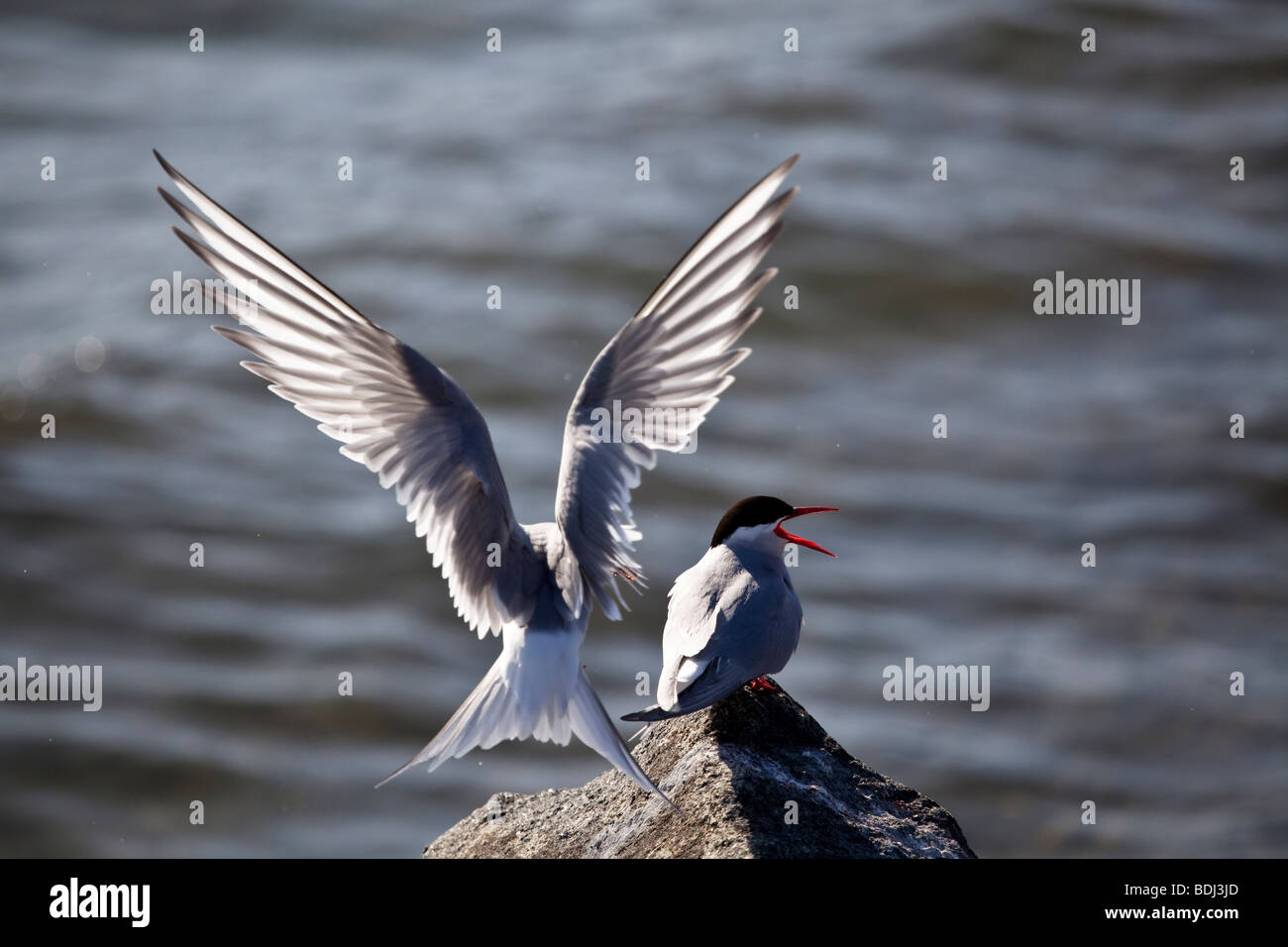 An Arctic Tern feeding its young Stock Photo