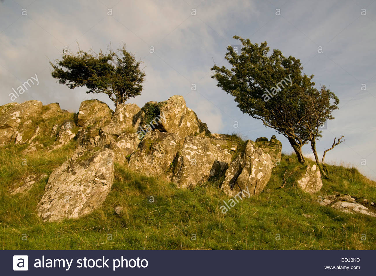 Windswept Hawthorn trees near the village of Croesor, Snowdonia National Park - Stock Image