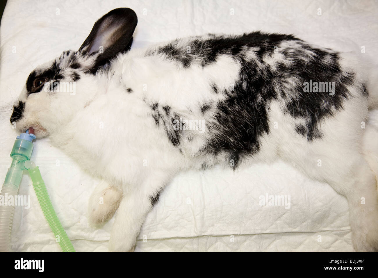 Pet Rabbit Under General Anaesthetic - Stock Image