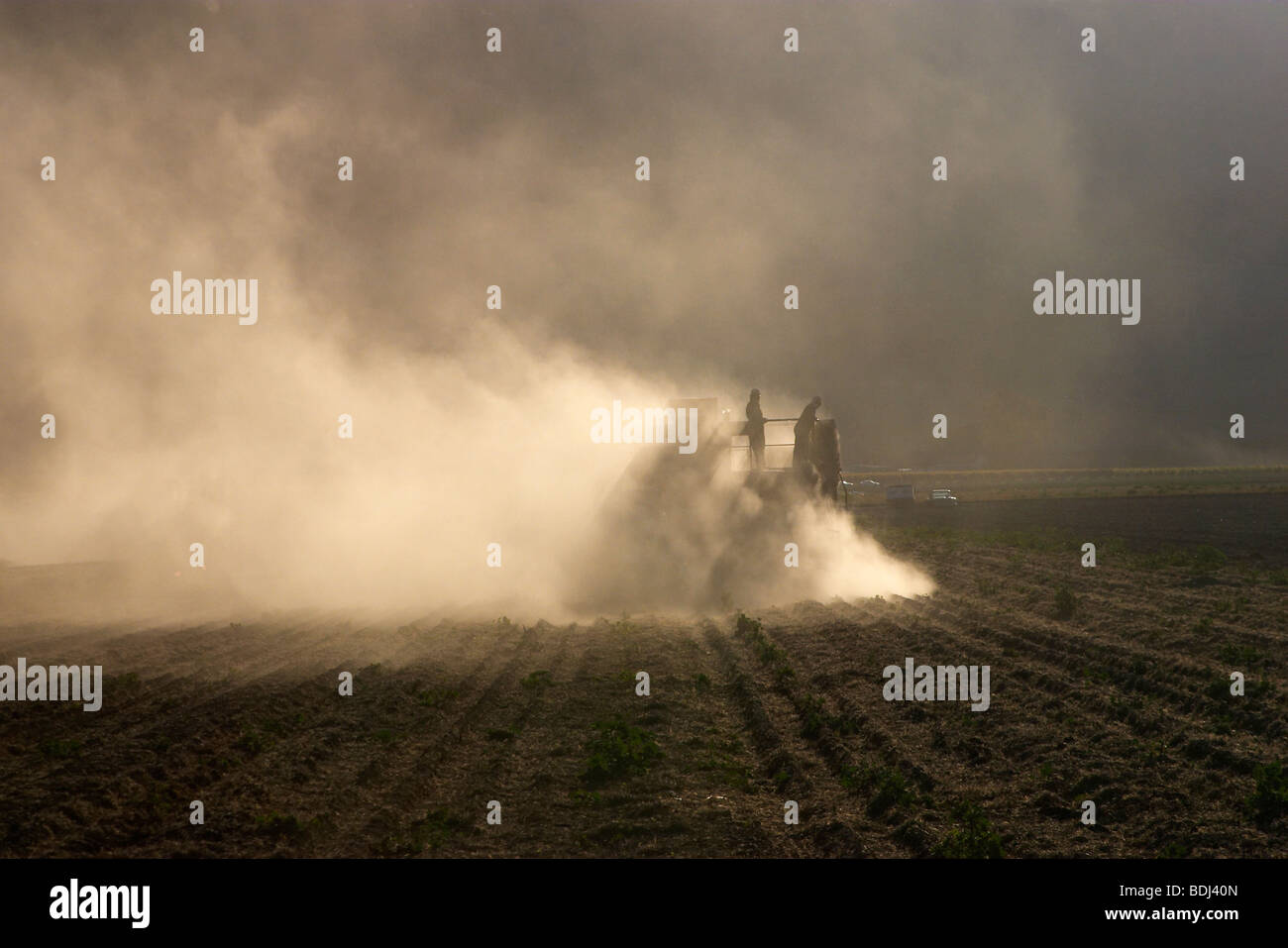 Harvesting dry beans; a dry bean thresher is pulled by a tractor as it harvests windrowed dry beans / Salinas Valley, - Stock Image