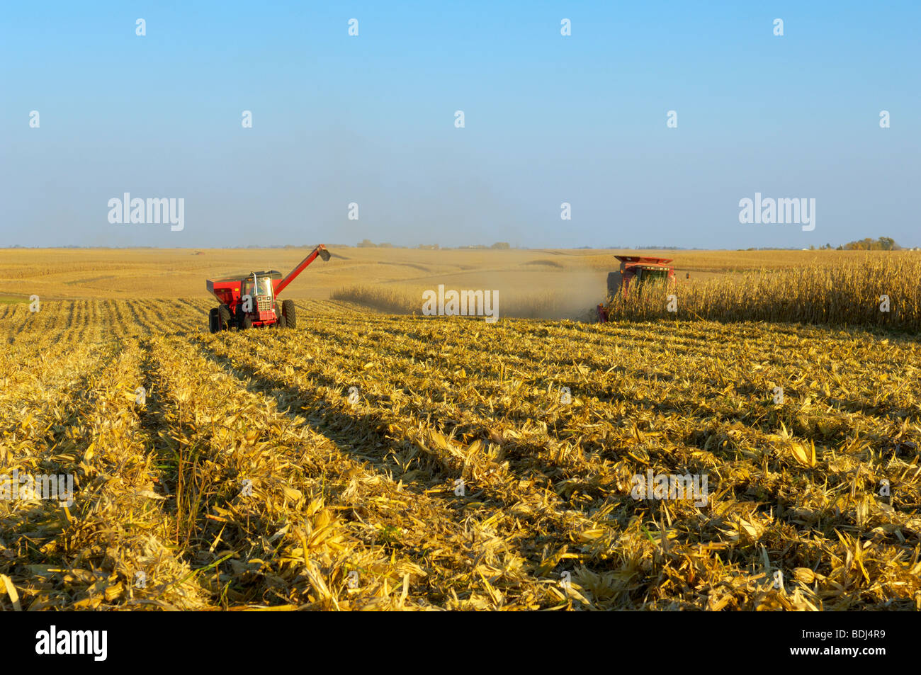 A combine harvests a crop of grain corn in a large grain field, with a grain cart running alongside nearby / Iowa, - Stock Image