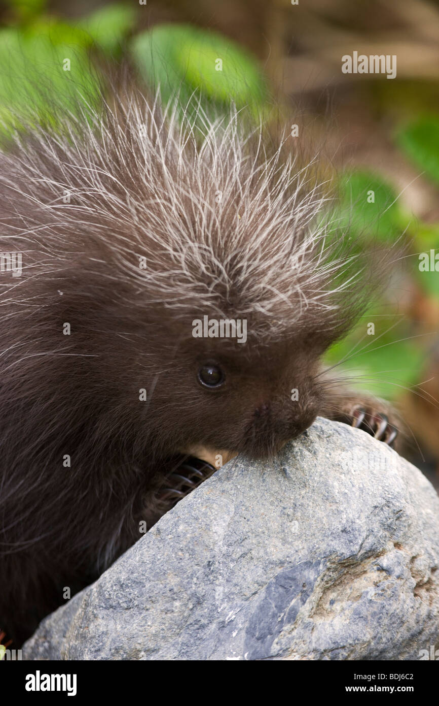 A baby porcupine, near Seward, Alaska. Stock Photo